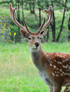 Deer on a background of nature close up young whitetail standing in summer wood Royalty Free Stock Photo