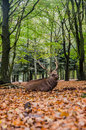 Deer big sleep in the forest Stock Photography