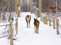 Deer on a bridge in winter Stock Photography