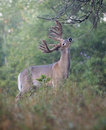 Deer buck at licking branch Royalty Free Stock Photo