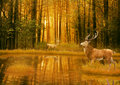 Deer Bucks in summer sunset light standing in an opening in woods Royalty Free Stock Photo