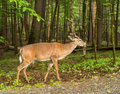 Deer in cades cove great smoky mountain national park Stock Images