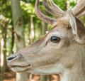 Deer close up of a head in the forest Stock Images
