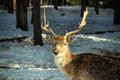 Deer close up a on snowed pyrenees mountains Royalty Free Stock Photo