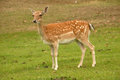 Deer closeup of the head of a in the field Royalty Free Stock Photo