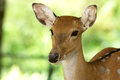 Deer closeup head of a whitetail Stock Photo
