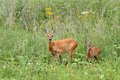 Deer doe and her baby roe capreolus looking at the camera while standing in the big grass Royalty Free Stock Photo