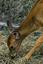 Deer Eating  Hay Stock Images