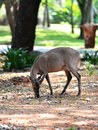 Deer eating in zoo thailand Royalty Free Stock Images