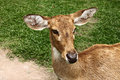 Deer eld s deer close up in zoo Royalty Free Stock Images