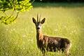 Deer In Evening Sun