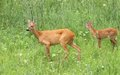Deer family doe and calf roe capreolus her standing in the big summer grass Royalty Free Stock Images