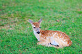 Deer fawn on grass little with white spots lying Stock Image