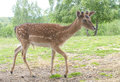 Deer fawn in it s natural environment Royalty Free Stock Images