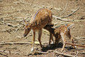 Deer feeding its fawn Royalty Free Stock Photo