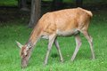 Deer female bialowieza national park and unesco world heritage site in poland Stock Images