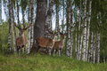 Deer flock in natural habitat Stock Photography