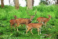 Deer flock in natural habitat beautiful young the meadow Royalty Free Stock Image
