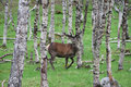Deer in forest Royalty Free Stock Photography