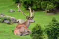 Deer in forest Royalty Free Stock Photo