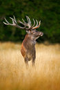 Deer in the forest. Red deer stag, bellow majestic powerful adult animal outside autumn forest, big animal in the nature forest ha Royalty Free Stock Photo
