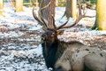 Deer in the forrest in autumn/winter time with brown leafes, sno