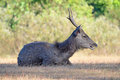Deer a in the forrest thailand Royalty Free Stock Photos