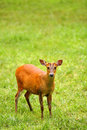 Deer On The Grass Royalty Free Stock Image