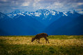 Deer grazing on meadow with mountain landscape at Hurricane Ridge Royalty Free Stock Photo