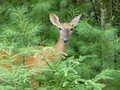 Deer in Green Royalty Free Stock Image