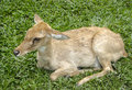 Deer on green grass taking rest Royalty Free Stock Photography