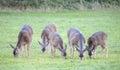 Deer herd foothill park palo alto ca usa black tailed odocoileus hemionus females Royalty Free Stock Image