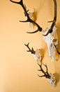 Deer horns trophy on wall the with copyspace Royalty Free Stock Images