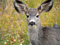 Deer with huge ears mule looking directly into the camera has and grass in it s mouth Stock Images