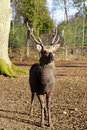 Deer a huge whitetail buck in prime october condition Stock Photography