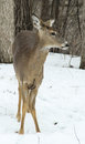 Deer with injured leg white tail doe front Royalty Free Stock Image