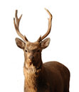 Deer isolated on wite background Stock Photos