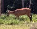 Deer Itaipu Zoo Foz Iguacu Brazil Royalty Free Stock Image