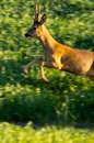Deer jumping in countryside Royalty Free Stock Images