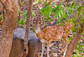Deer in jungle spotted a behind the trees looking alert ranthambore national park rajasthan india Stock Images