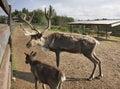 Deer in khokhlovka perm krai russia Stock Photos