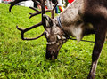Deer on leash with collar eating green grass, beauty big horns Royalty Free Stock Photo