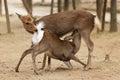 Deer love Stock Photography