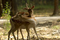Deer love white tailed buck and doe Royalty Free Stock Photography