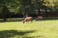 Deer with magnificent antlers, Bialowieza National Park