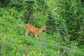 Deer in a meadow Royalty Free Stock Images