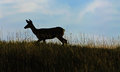 Deer in the meadow at sunset a solitary is silhouetted against evening sky as it walks through a grassy Stock Photo