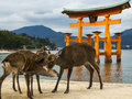 Deer at Miyajima Royalty Free Stock Photo