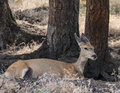 Deer in montana a hides the shade on a mountainside Royalty Free Stock Images