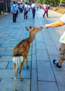 Deer at nara following tourist japan Stock Images